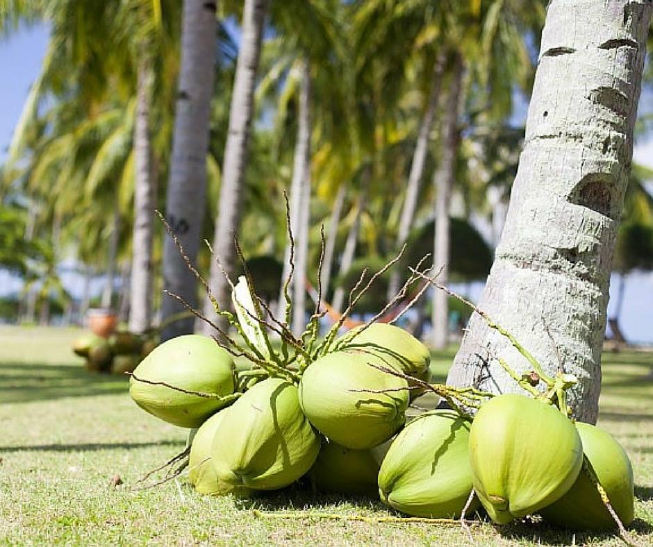 Svež kokosovi orehi